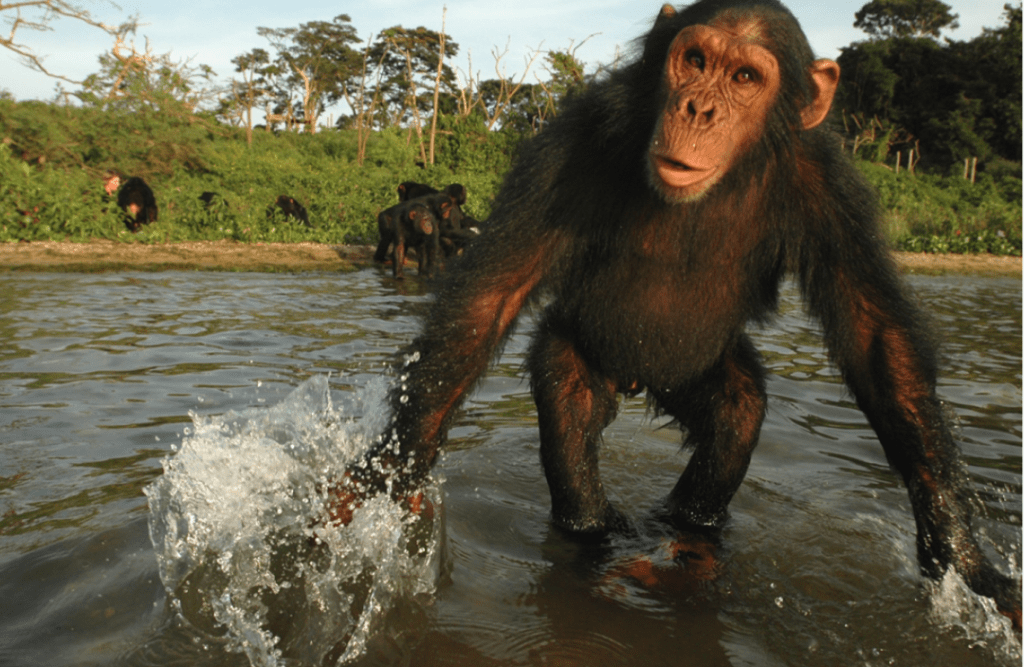 10 things you probably didn't know about chimpanzees