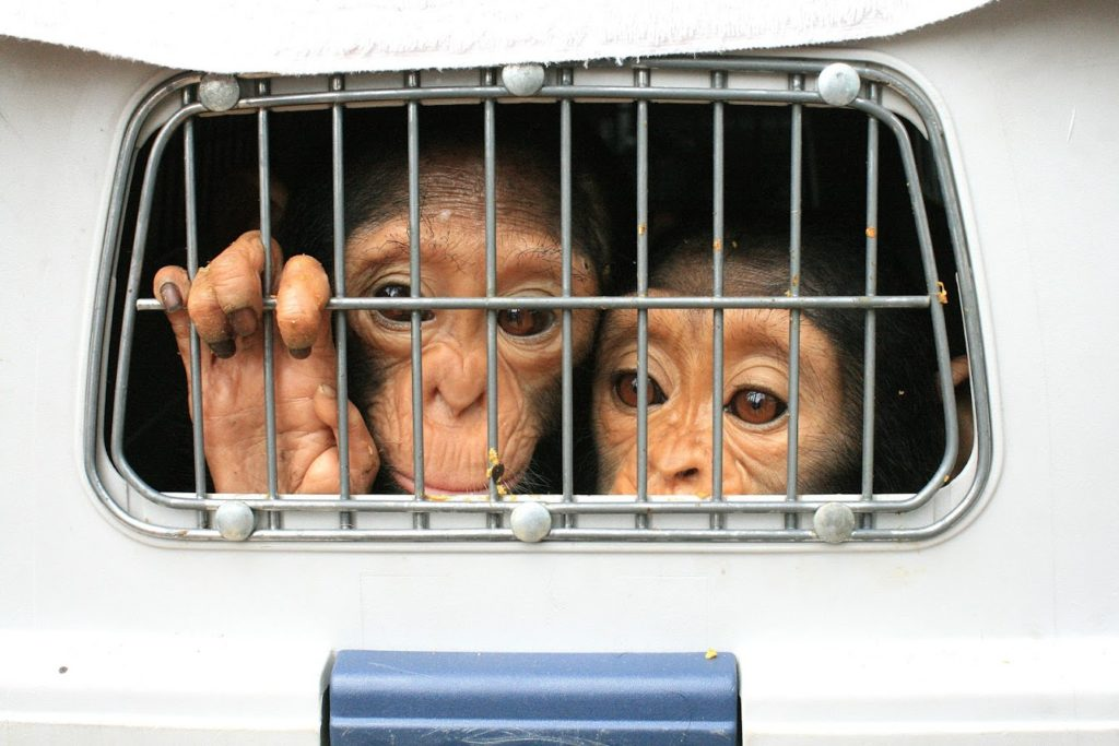 two baby chimpanzees in a cage