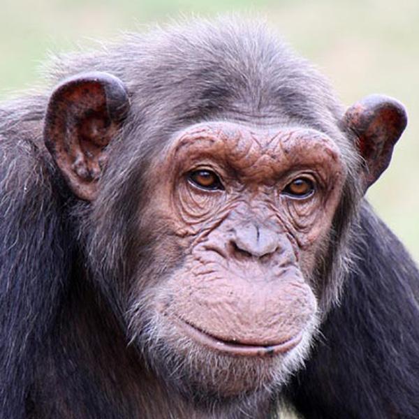 Cherri. Chimp of the month