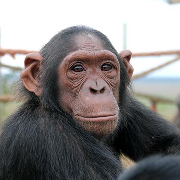 Lemba at the JGI Tchimpounga Chimpanzee Rehabilitation Center