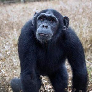 Mambou at the JGI Chimpanzee Rehabilitation Center