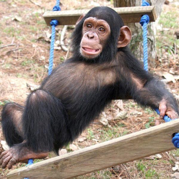 Orphan Mbebo  at the JGI  Tchimpounga Chimpanzee Rehabilitation Center in Congo